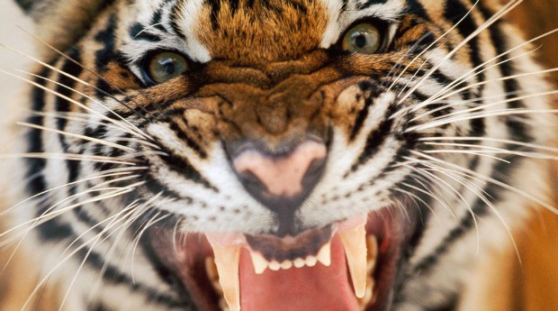 A tigris és a vadász, tanmese.